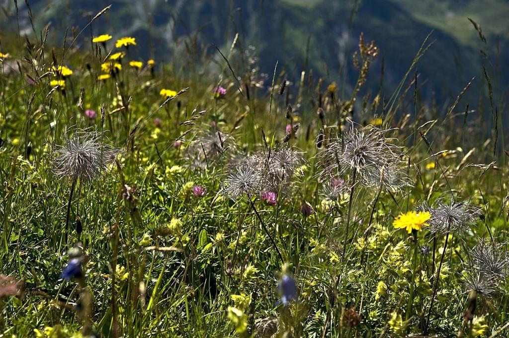 Artenvielfalt Bergmähder von Hermann Muigg