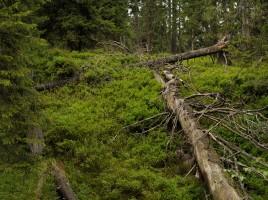 naturnaher Bergwald